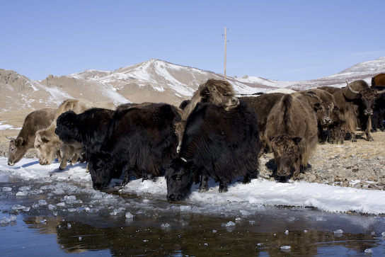 Yaks drinking from the lake.