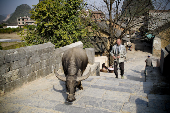 A water buffilo taking this owner for a walk over the bridge.