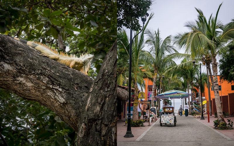 Iguana; Street to the beach, Sayulita.