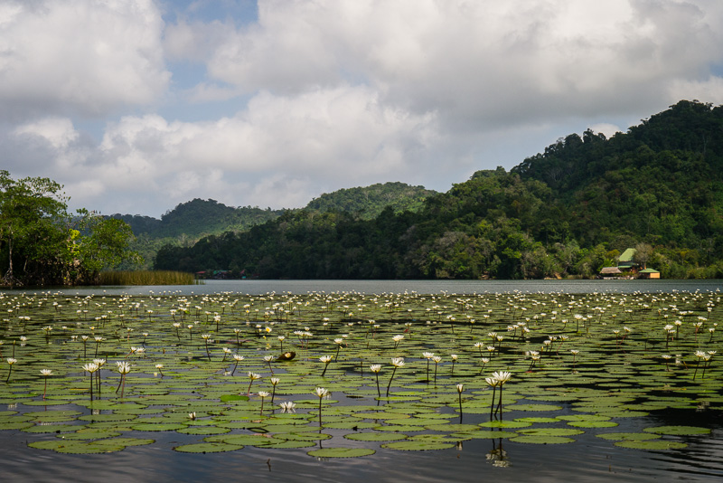 Lilies along the Rio Dulce.