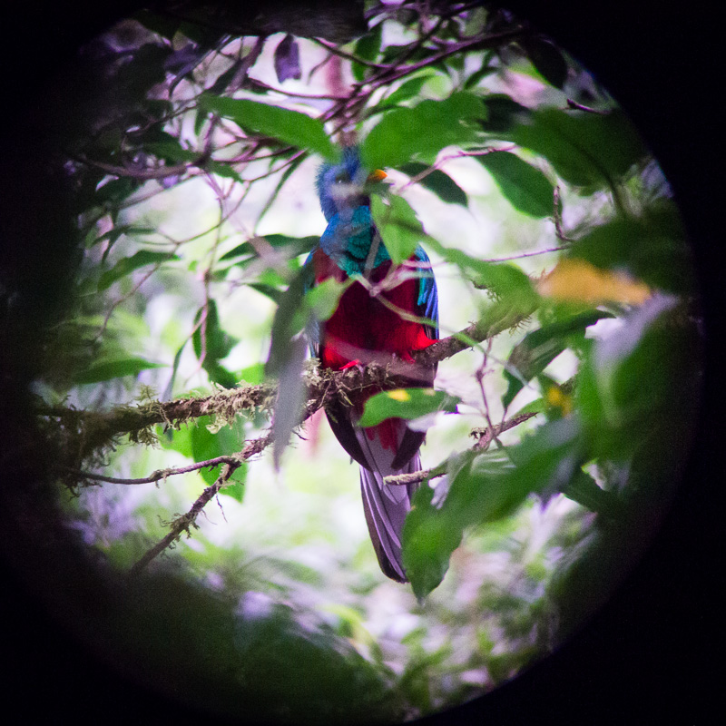 The majestic Quetzal... As seen through Stuart's camera shooting through the spotting scope.