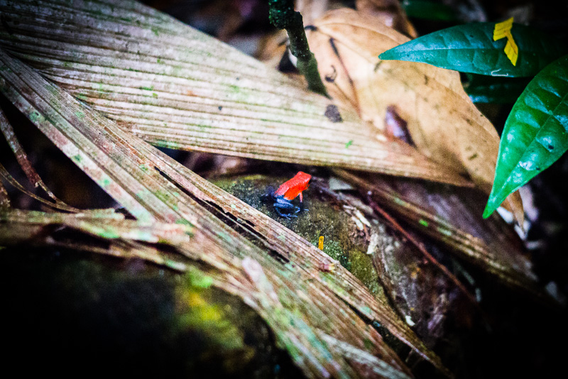 Flaming Poison Frog.